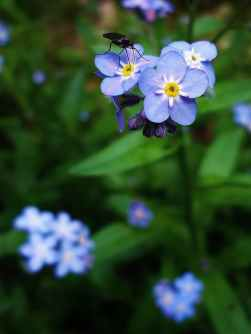 nature flowers blue flower